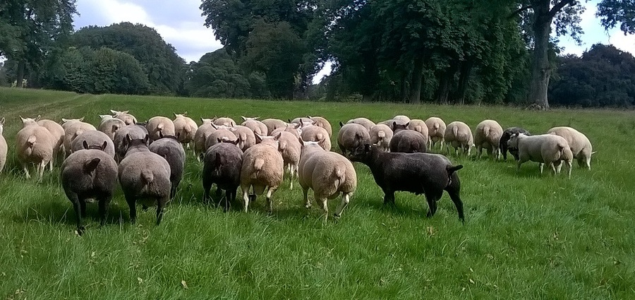 White and Blue Texel Shearling Rams in their working clothes, for sale direct from the farm.