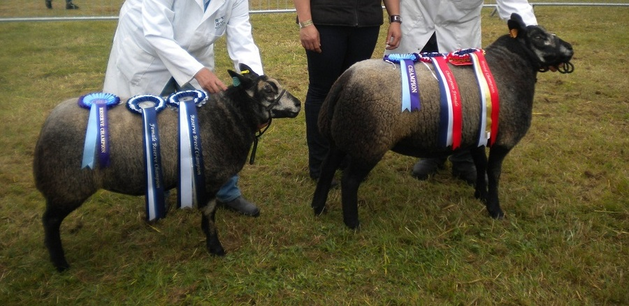Miserden Velvet Interbreed Champion Royal Berkshire Show with Reserve Breed Champion ewe lamb