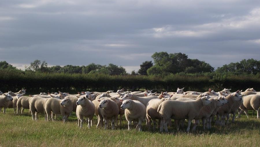 texel lambs