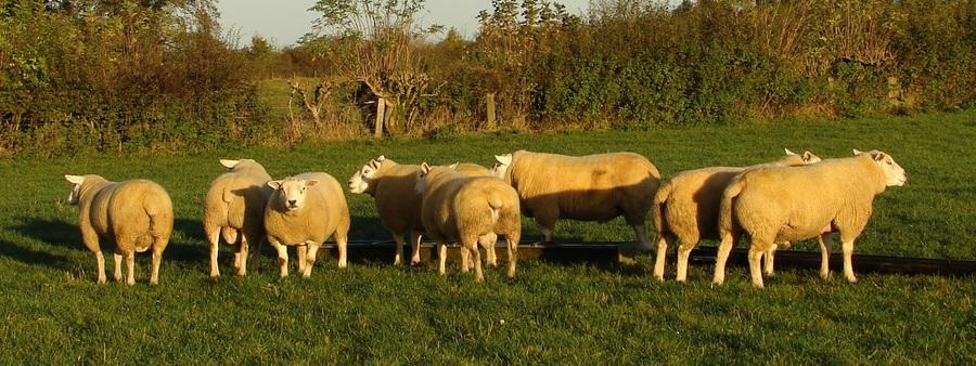Miserden Texel Shearling Rams