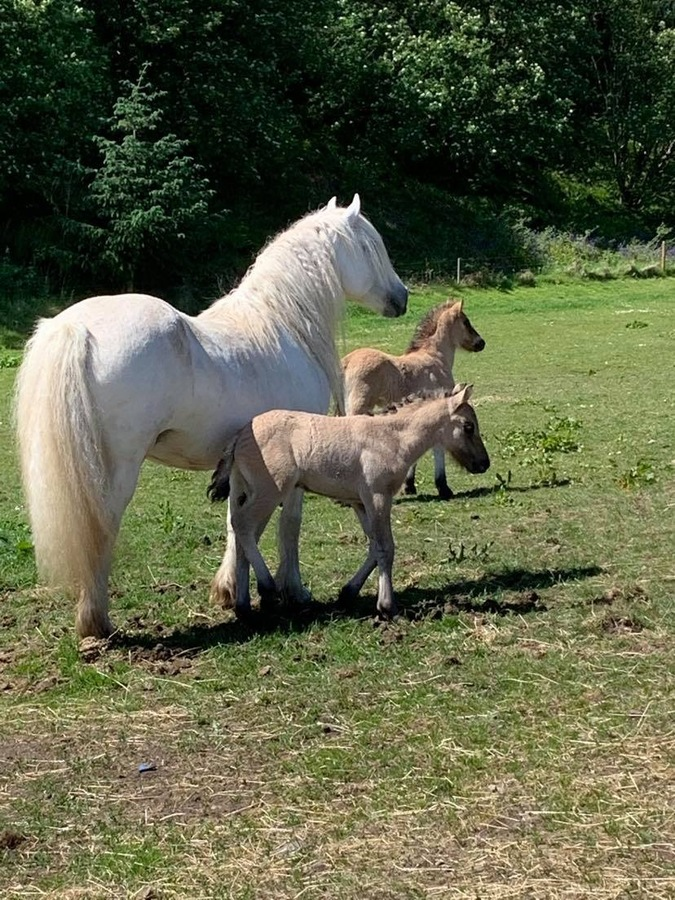 Fionnalaigh with two foals.