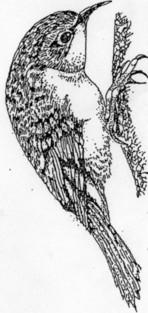 pen drawing of Tree Creeper