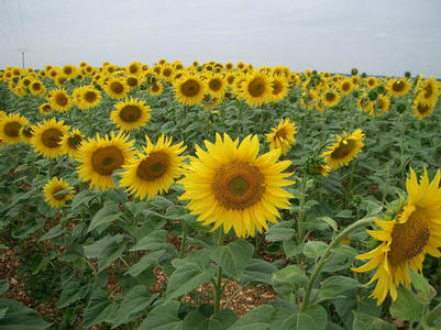 SUNFLOWERS, AS FAR AS THE EYE CAN SEE