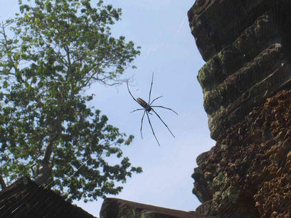 Large spider spotted at Preah Khan
