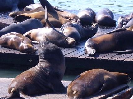 Sealions at Pier 39, Fisherman's Wharf, San Francisco