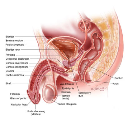 Illustration of the male pelvic organs