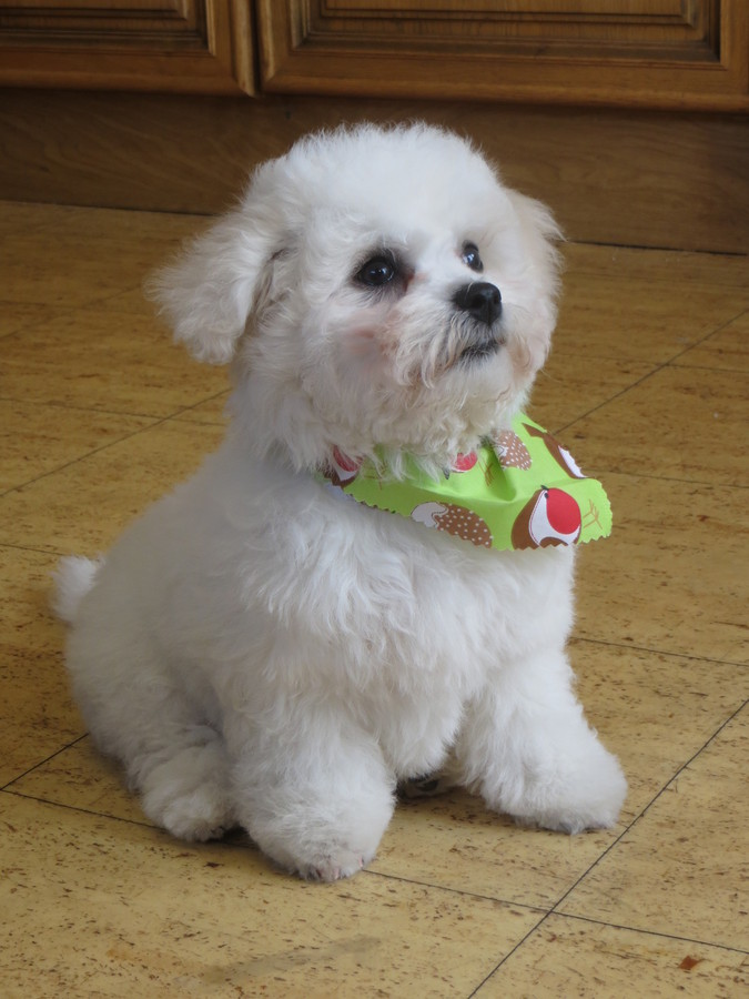 Freddie after his first grooming