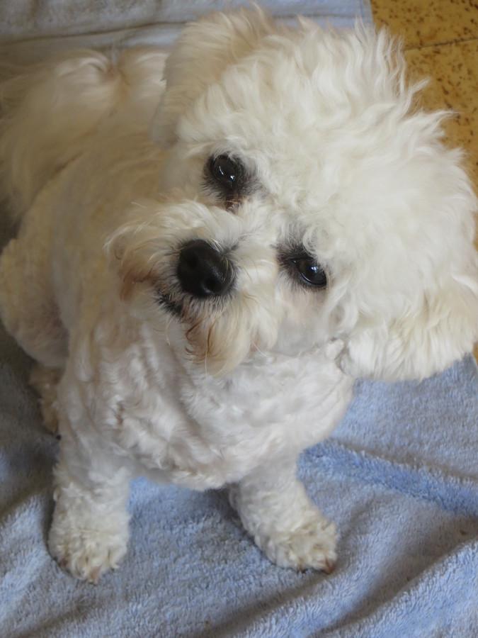 Freddie, our Bichon Frise pup