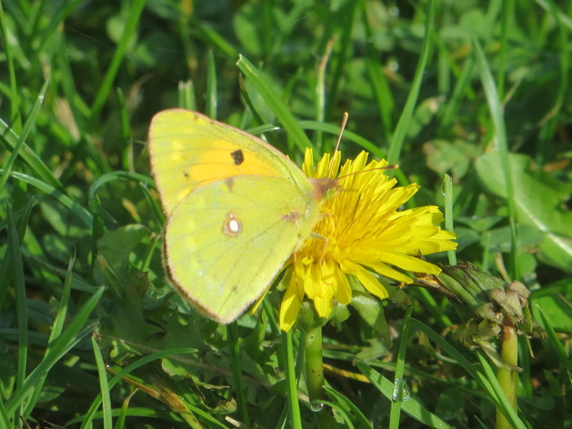 November butterfly on Adur rec, Shoreham by sea, taken while dog walking