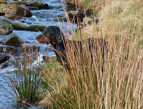 Drake by the river at Pendle