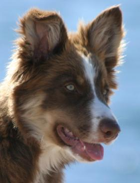 Border Collie Chocolate Tri