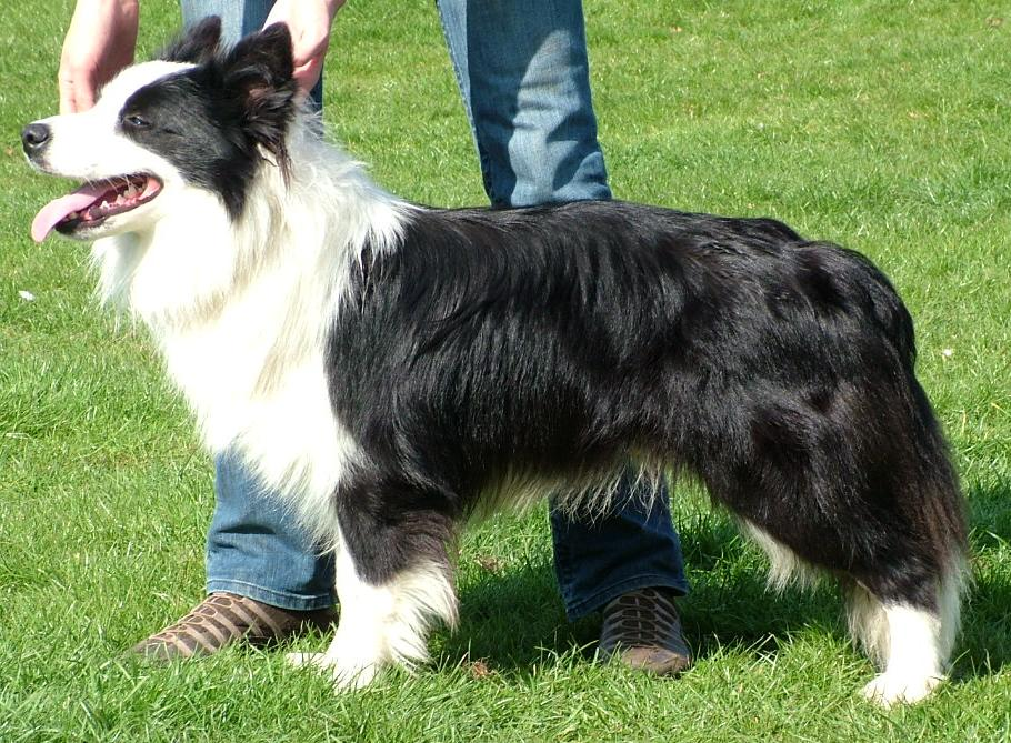 16 months old - a bit unkempt but we were away at a flyball comp!