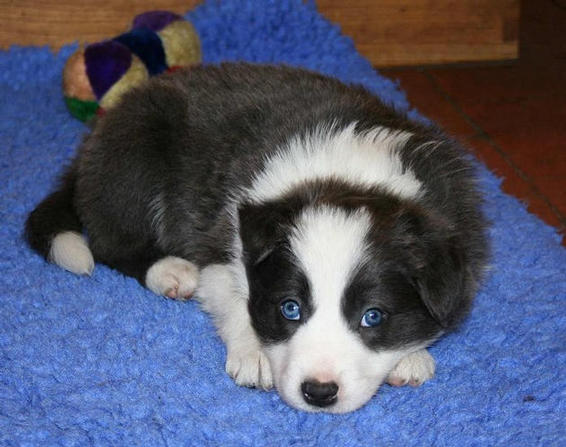 Blue/white boy. 5 1/2 weeks (R. Silver Lustre): SOLD