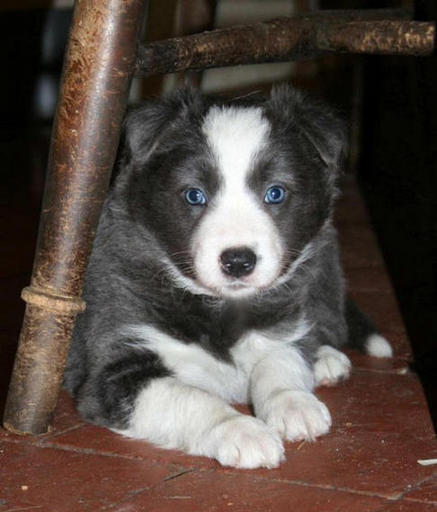 ( Darker blue girl. 5 1/2 weeks )(R. Silver Charm) : Sold