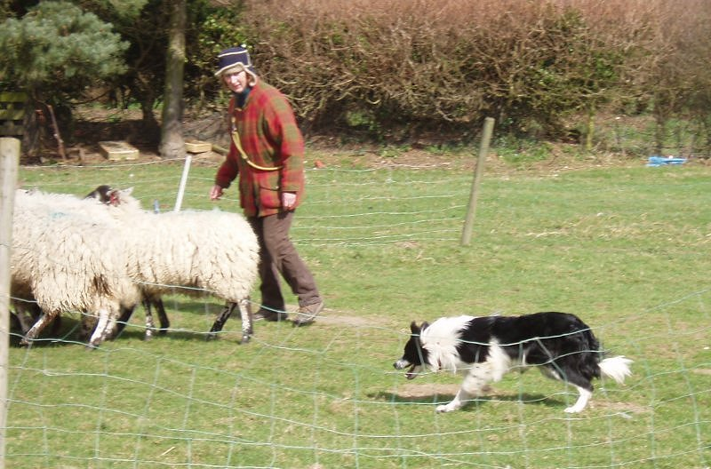 Pie moving the sheep nicely through the gateway (head down, tail down.)