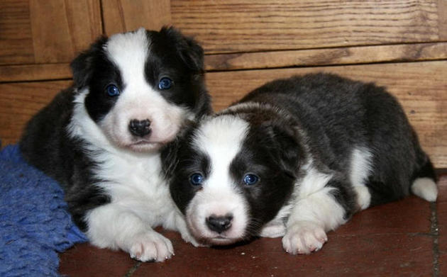 Blue boy (left) & blue girl @ 4 weeks