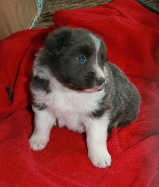 Blue & White boy @ 4 weeks