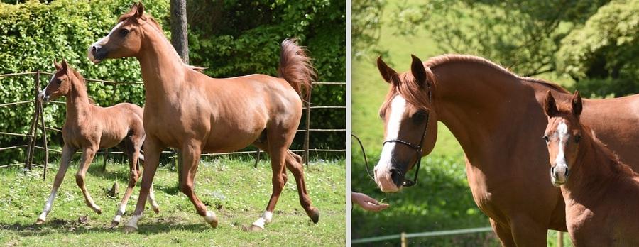 Amelie and her Shaka colt