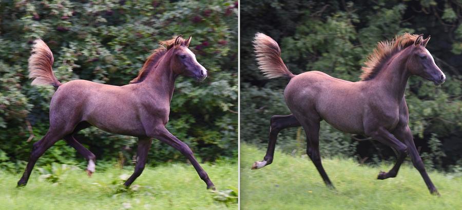 Fern x Shaka filly trotting with such freedom