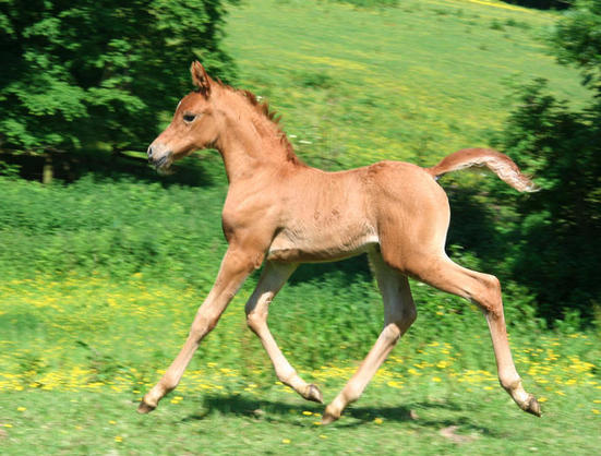 Saffron's filly