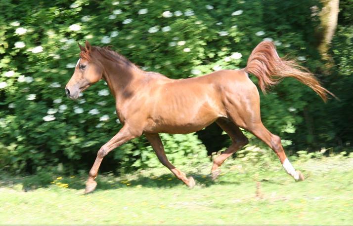 Saffron trotting