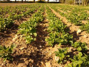 Pembrokeshire new potatoes
