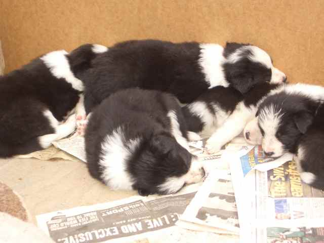 Elthea Wizard of Oz X Miraje Ruby litter born 7 June 2006