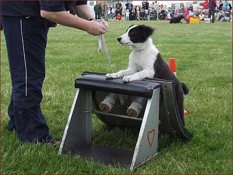 Elthea Endless Party (Dotty) learning the flyball box at 5 months old at the Herts County Show 2008