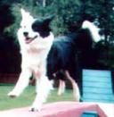 Elthea My Fair Lady on the dog walk