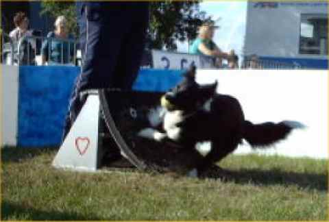 Breeze doing flyball
