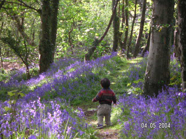 Bluebell Woods in Late April & May Lyme Regis