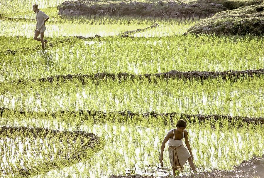Gulshan paddy fields