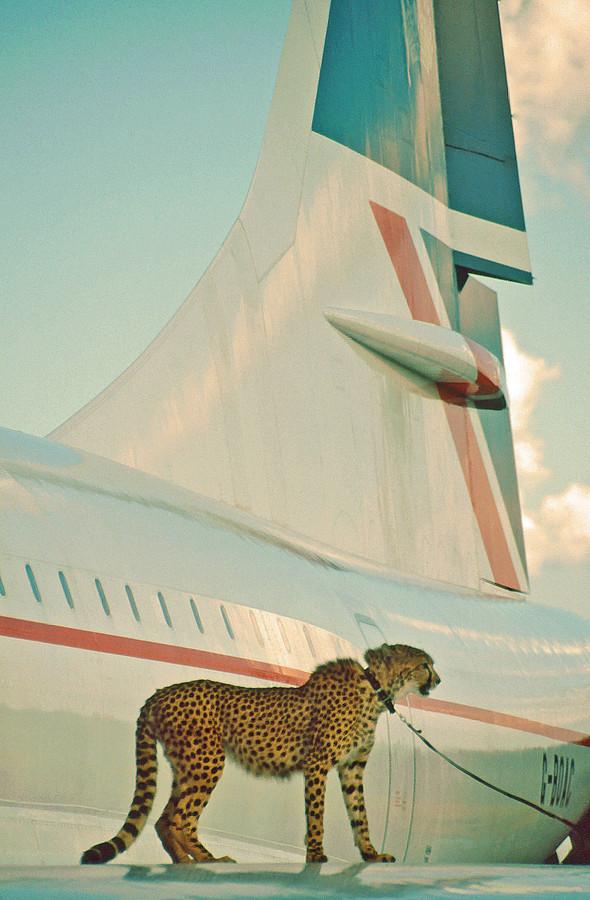 Cheetah on Concorde