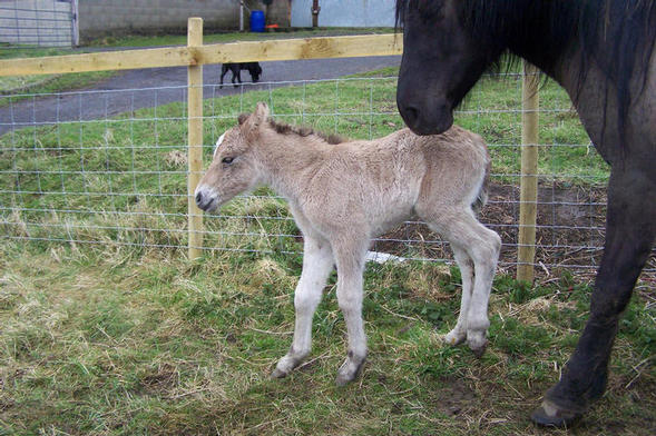 Filly foal 4 hours old