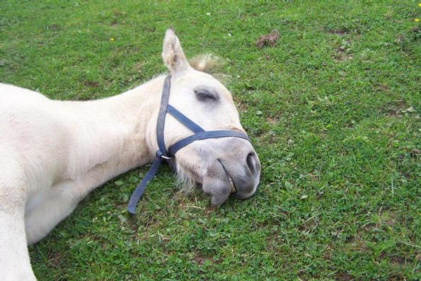 one very tired foal !  Sire Ian Dhu of Croila