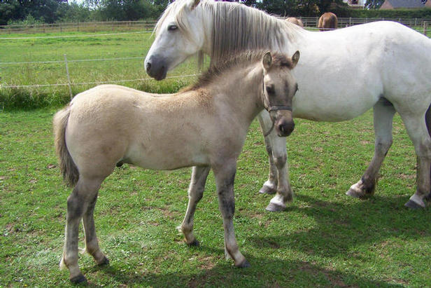 Ailsa of Cloughwood and colt foal by Drumochter