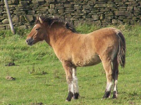 Bryony of Combebank's filly foal.  Valerock Miss Brodie