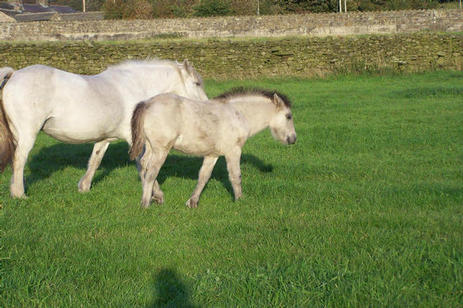Trowan Violet's colt foal. Valerock Valiant