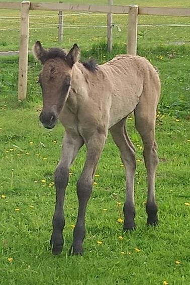 Valerock Maverick colt foal