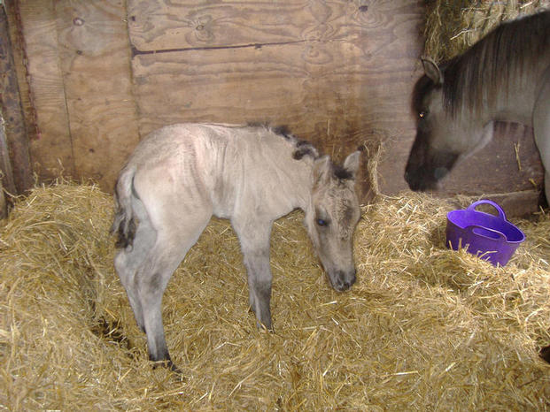 filly foal by North Wells Summit