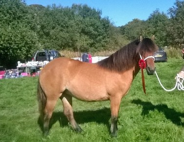 Valerock Buttercup yearling filly