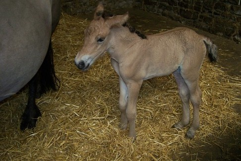 Bryony of Combebanks filly foal