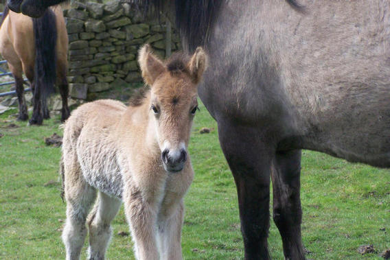 Olive Bryonys filly foal