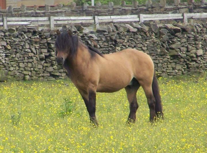 Duie yellow dun stallion