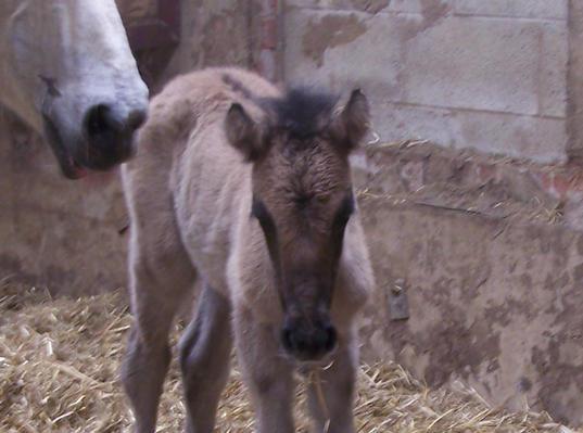 Pabbaydenes colt foal