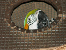 Parrot looking out of nest box.