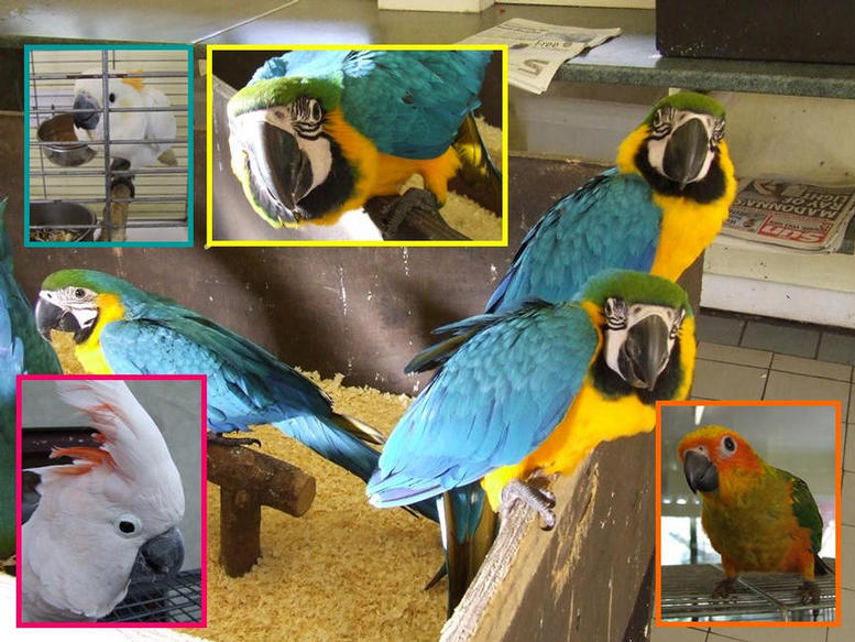 Blue Gold Macaws in the nursery.