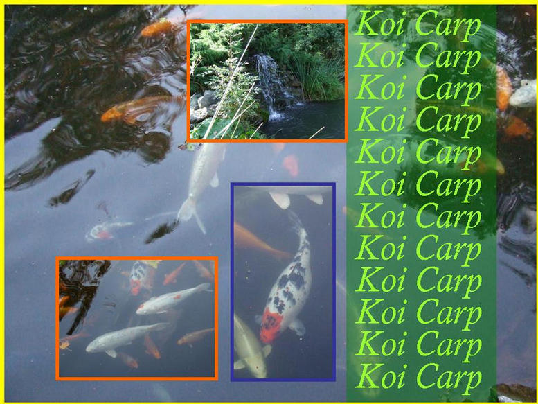 Photograph of the Koi Pond showing some of the fish.