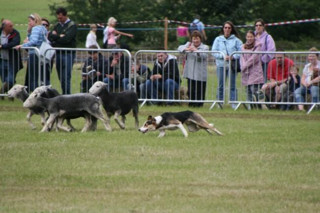 Dog Rounding up the Sheep