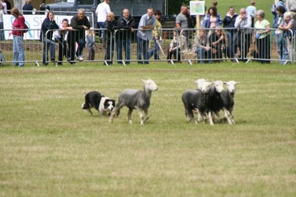 Dog Making Sheep Walk On
